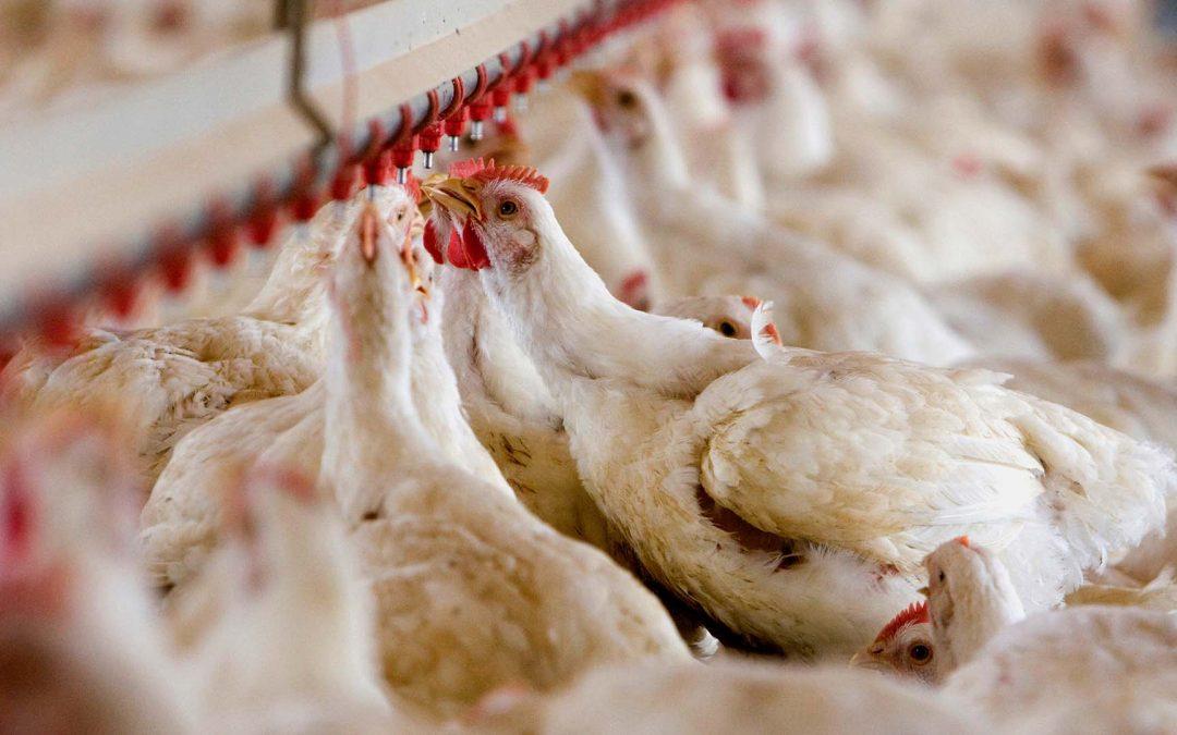 Hähnchen dominiert den Geflügelmarkt