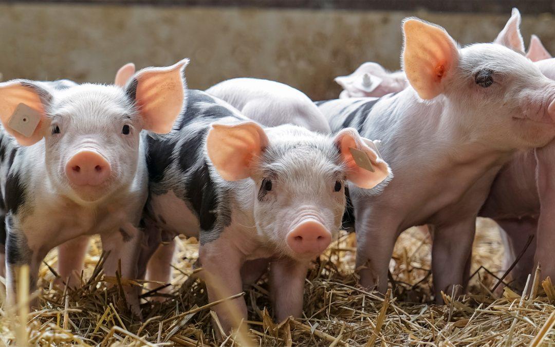 Staatliches Tierwohllabel für Schweine
