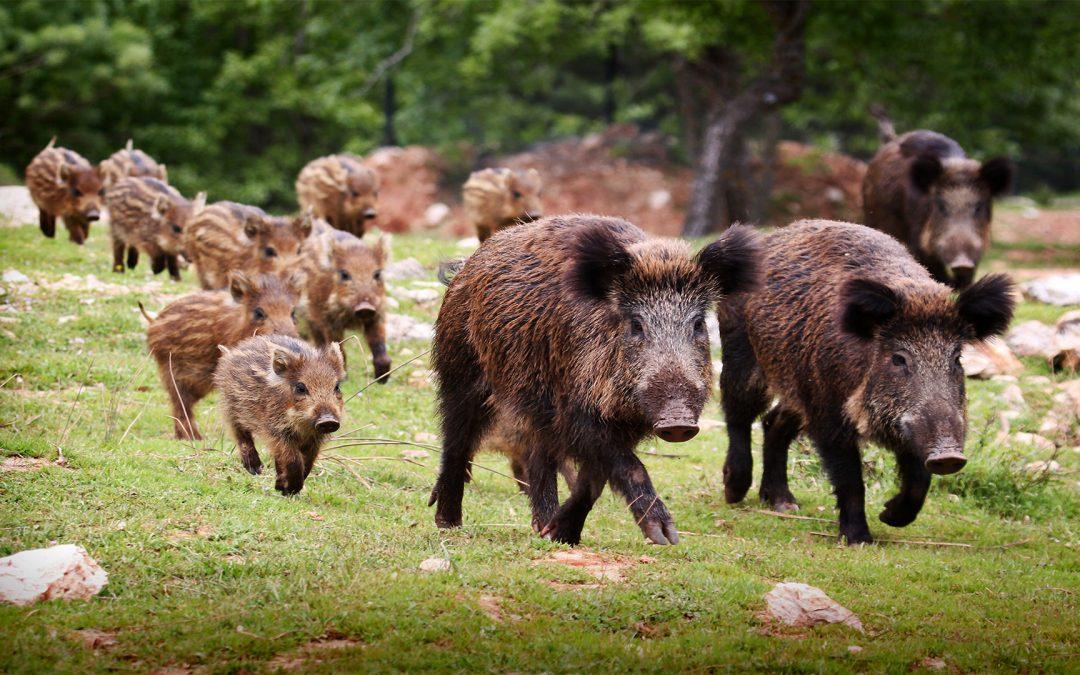 ASP: 200 Millionen Schweine weniger in China